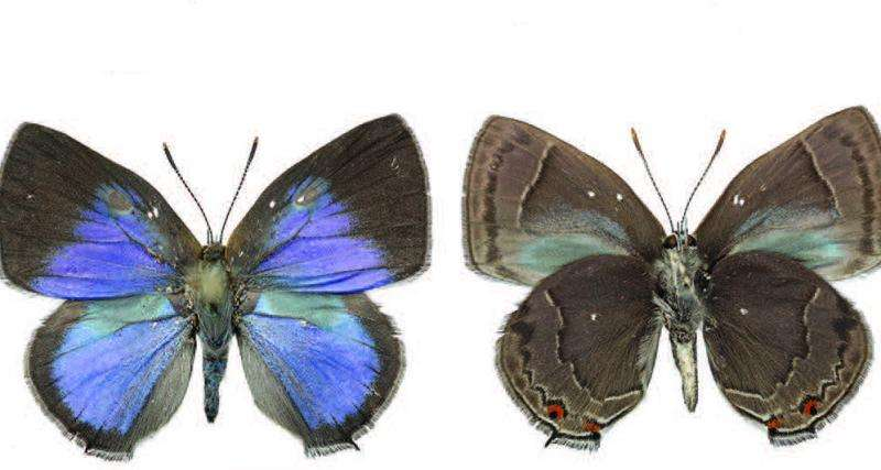 To be fragrant or not: Why do some male hairstreak butterflies lack scent organs?