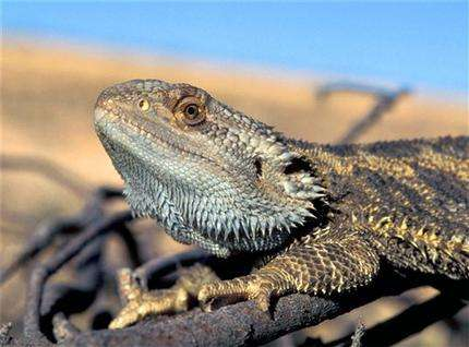 Too hot: Temperatures messing with sex of Australian lizards