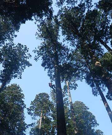 Treetop leaves of tall trees store extra water