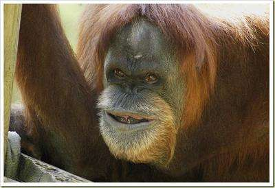 Trisomic variation in the great apes