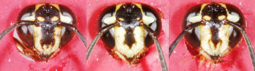 Tropical wasps attack intruders with unfamiliar faces