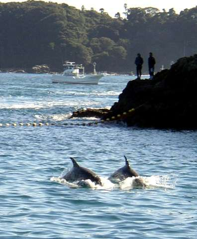 Two Risso's dolphins being herded by fishing boats near the village of Taiji, in Wakayama prefecture, western Japan