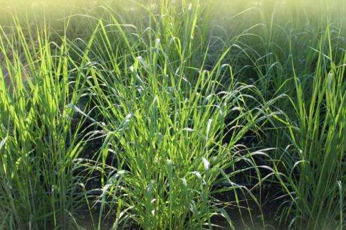 UI engineers find switchgrass removes PCBs from soils