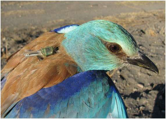 Uncovered: the engangered European roller's route between Africa and Europe