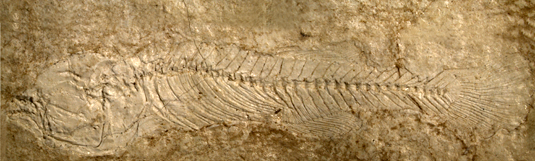 Unique fish fossils identified