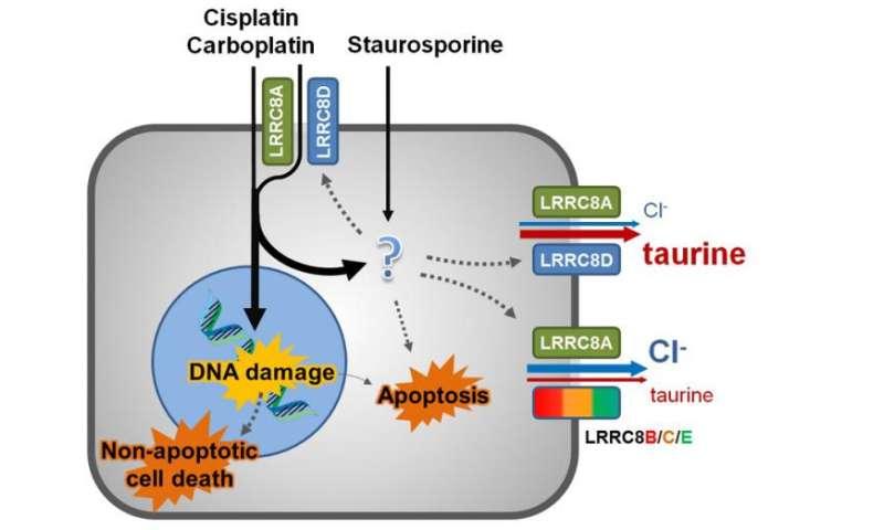 Uptake mechanisms of cytostatics discovered