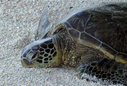 US agency: Keep threatened status for green sea turtles