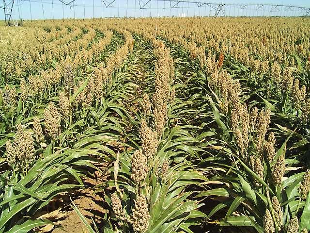 USDA scientist helps texas sorghum growers reduce water use