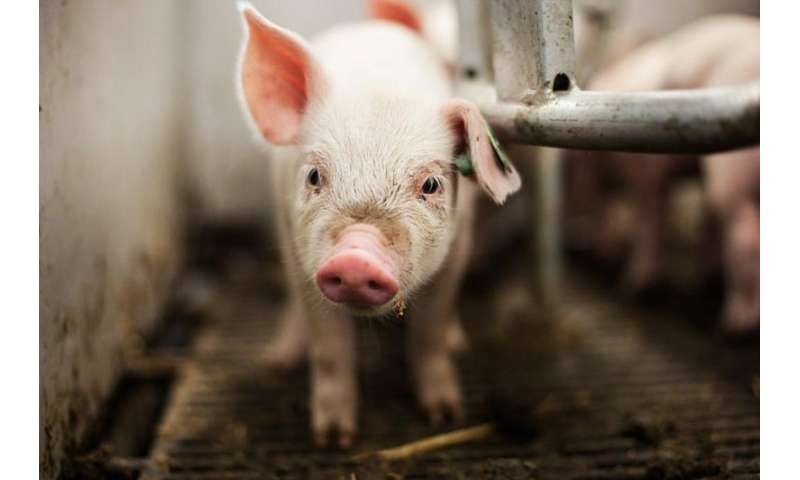Using infrared cameras to measure sow temperature can lower piglet mortality