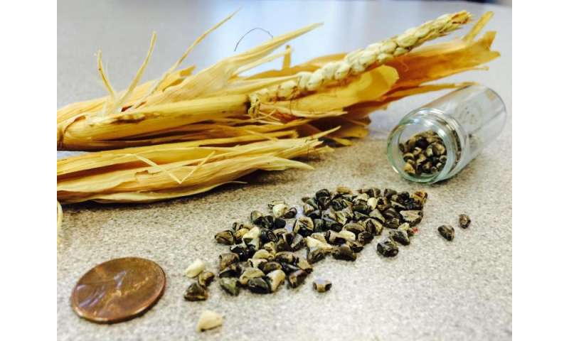 UW study shows how a kernel got naked and corn became king
