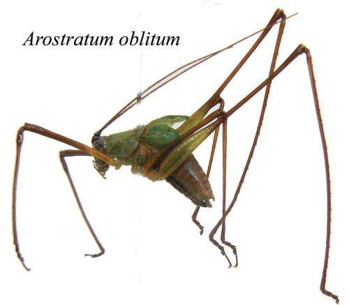 Waiting to be discovered for more than 100 years -- new species of bush crickets