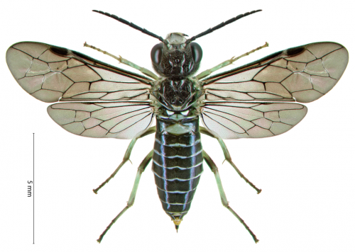 What's on the menu for young African sawflies?