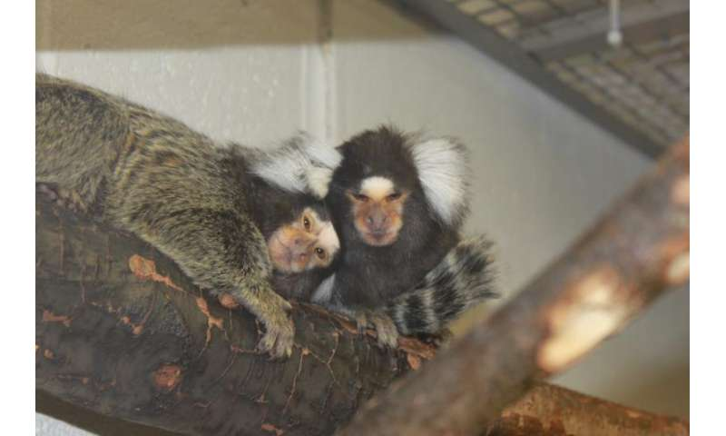 When brain metabolism dips, desire goes up in monkeys on 'female Viagra'