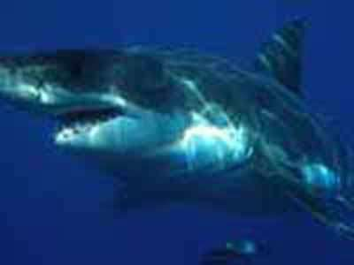 White sharks grow more slowly and mature much later than previously thought
