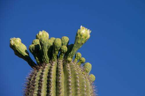 Why are cacti so juicy? The secret strategy of succulents
