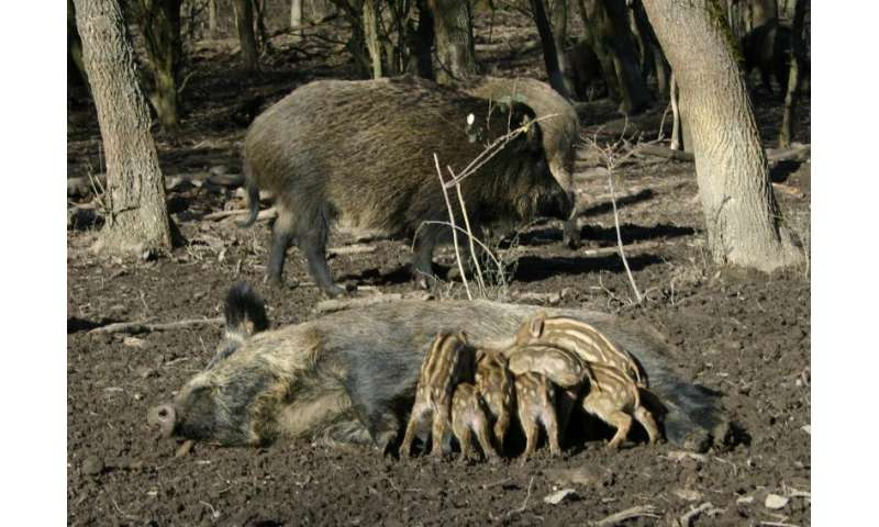 Wild boars are gaining ground – climate change boosts population growth