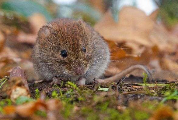 Wild voles' fight against infection could help explain varied immunity