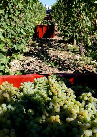 Workers harvest grapes at Michel Drappier's vineyards in Urville, eastern France