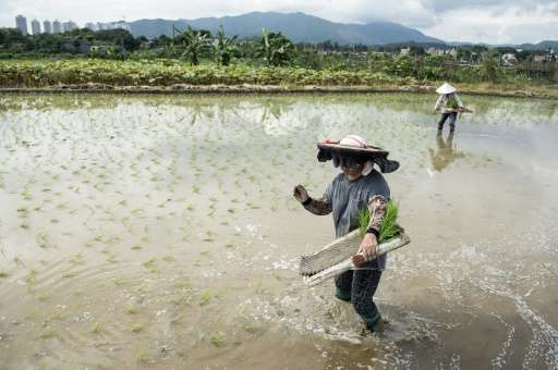 Workers plant rice in a paddy field at a farm in the New Territories in Hong Kong on August 6, 2014
