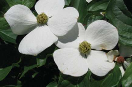World-famous, yet nameless: Hybrid flowering dogwoods named by Rutgers scientists