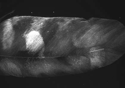World-first as fingerprints taken from golden eagle feathers