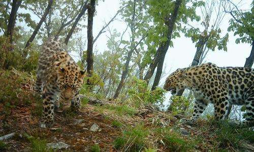 World's rarest wild cat doubles in number