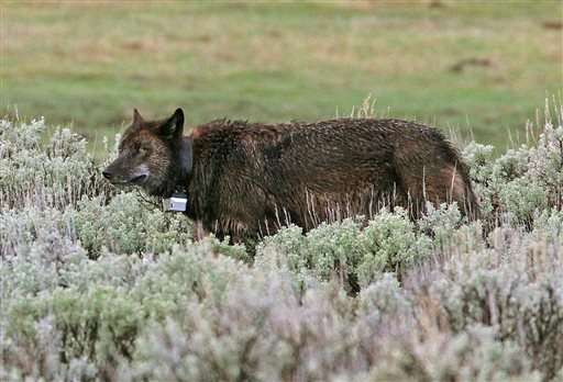 Yellowstone loses radio frequencies used to track wildlife