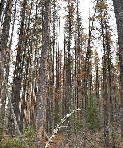 Young pine trees face new peril from mountain pine beetle