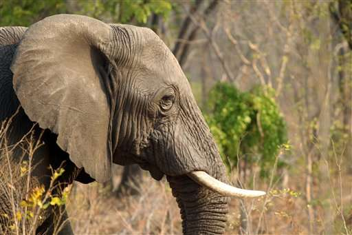 Zimbabwe: 22 more elephants killed in Hwange Park by cyanide