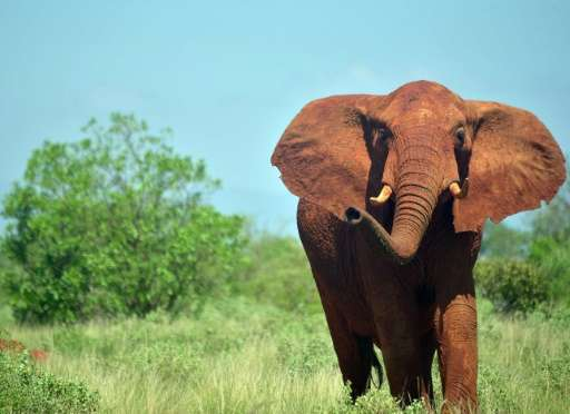 Africa is home to between 450,000 to 500,000 elephants, but more than 30,000 are killed every year for their ivory