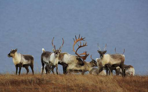 Alaska biologists research mystery of declining caribou herd