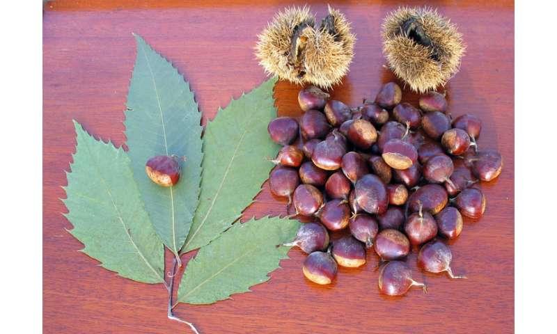 American chestnut restoration effort getting a boost from molecular geneticists