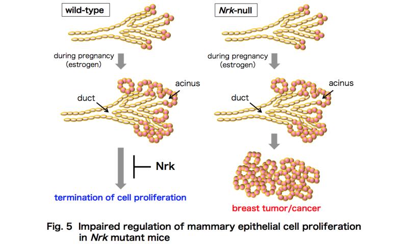 A new tumor suppressor gene for breast cancer in mice