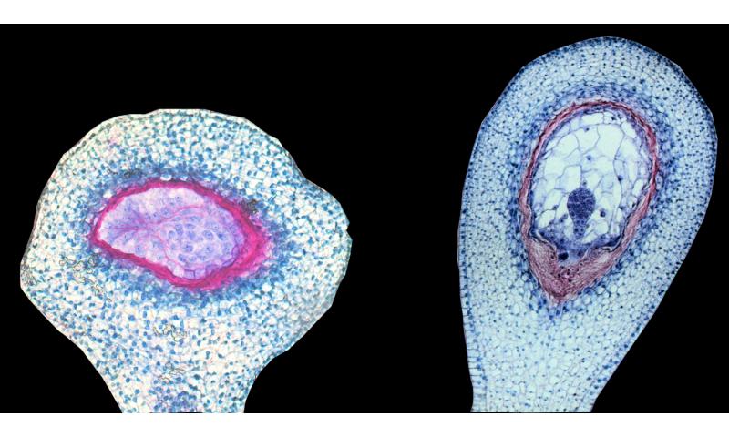 Semillas malas: cómo el linaje parental puede determinar la viabilidad en híbridos de tomate