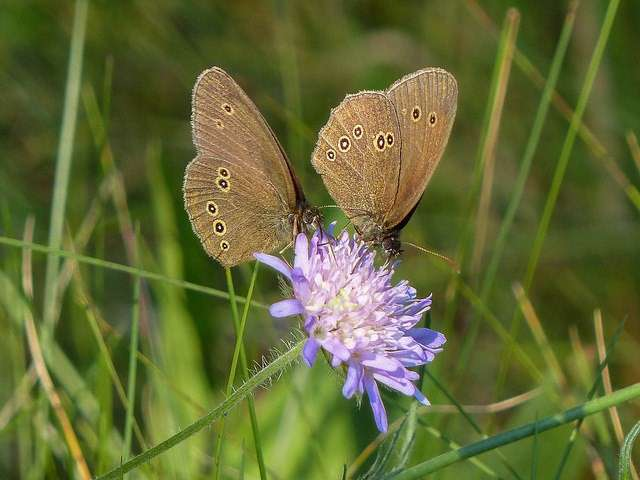 Being systematic about the unknown: Grid-based schemes could improve butterfly monitoring
