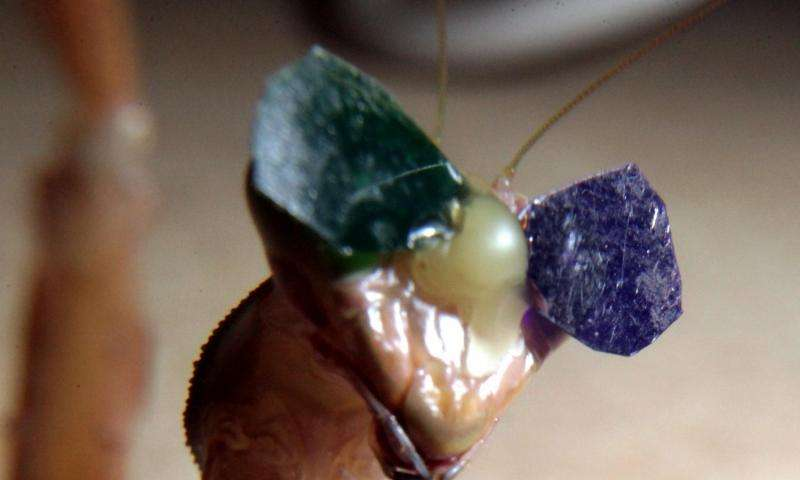 Bug eyes: Tiny 3-D glasses confirm insect 3-D vision