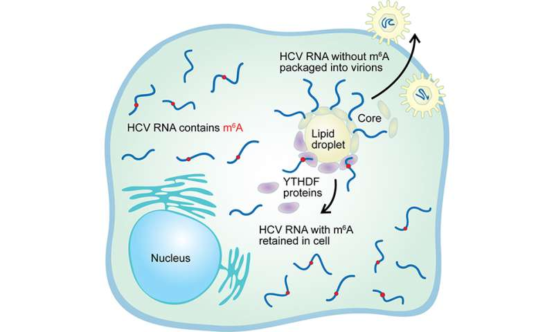 Chemical tags affect ability of RNA viruses to infect cells