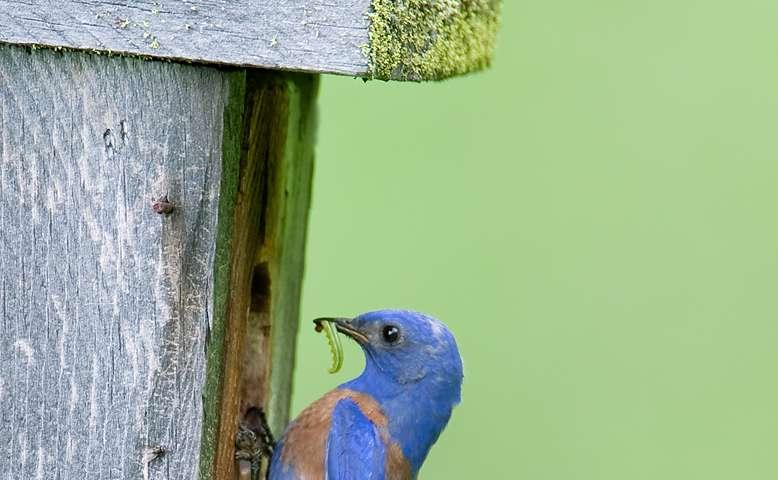 DNA analysis of bluebird feces reveals benefits for vineyards