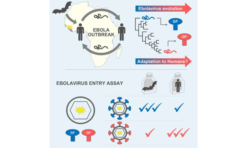Ebola adapted to better infect humans during 2013-2016 epidemic