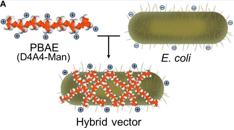 E. coli: The ideal transport for next-gen vaccines?