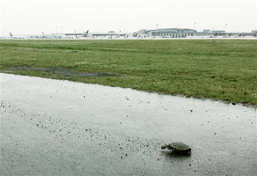 Fear the turtle: Terrapins disrupt planes at New York's JFK