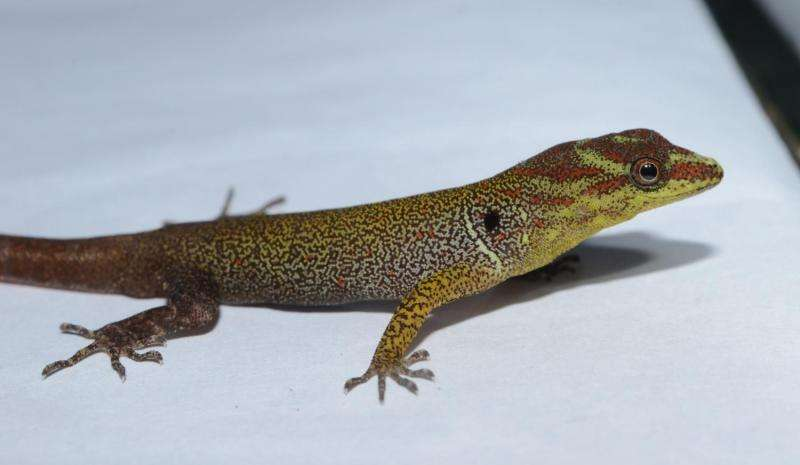 Gecko study offers evidence that small morphological changes can lead to large changes in function