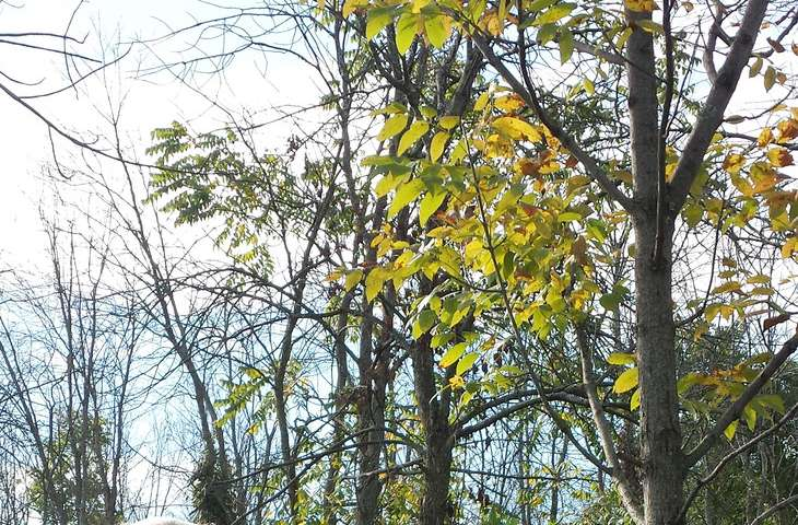 Geneticists on cutting edge of effort to save ash trees