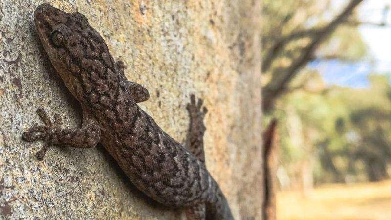 Glowing geckos show trees vital to farm biodiversity