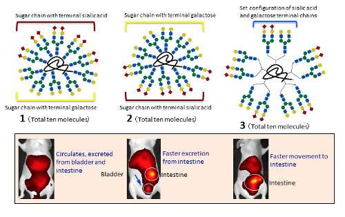 Glycocluster design could lead to targeted drug delivery