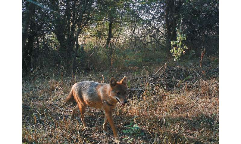 Golden jackals might be settling in the Czech Republic, hint multiple observations