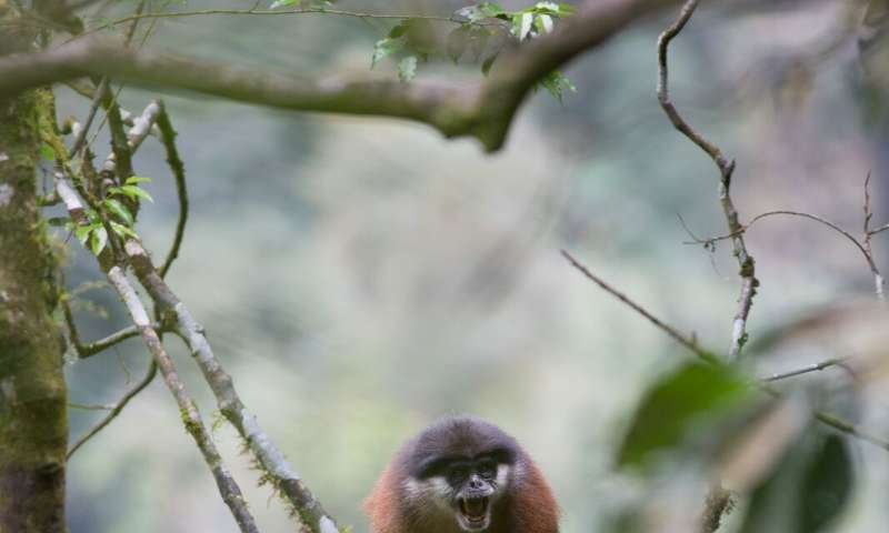 Gun hunting could lead to extinction of threatened primates on African island