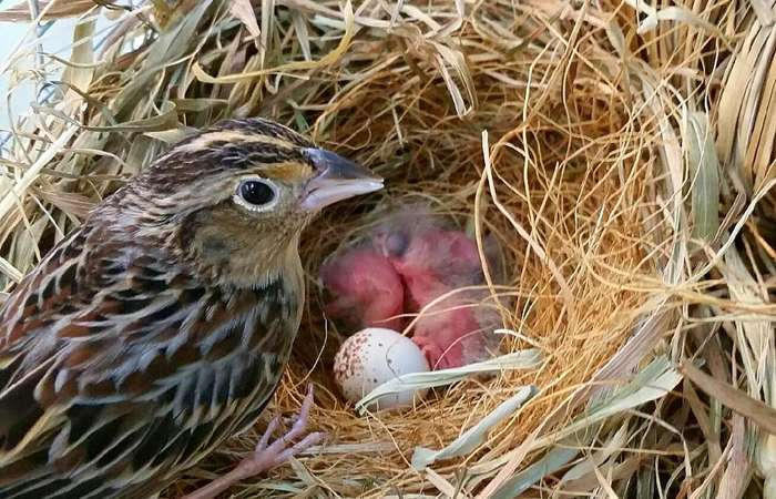 Hatchlings give hope for endangered songbird's survival