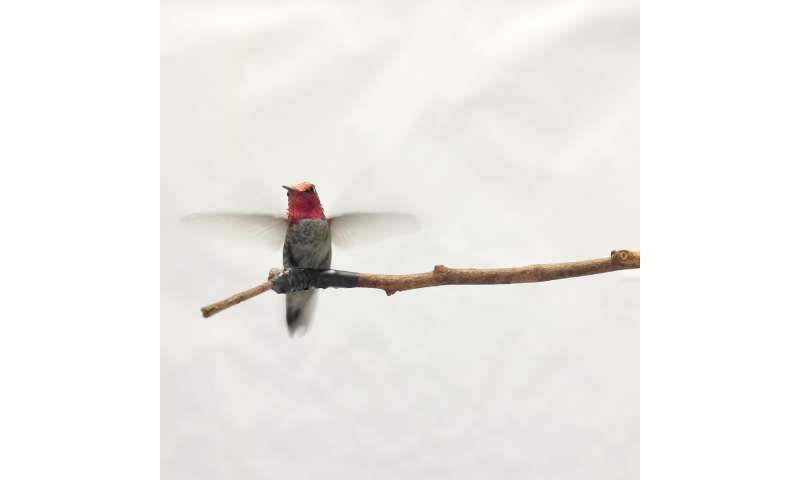 High altitudes hamper hummingbirds' ability to manoeuvre: UBC research
