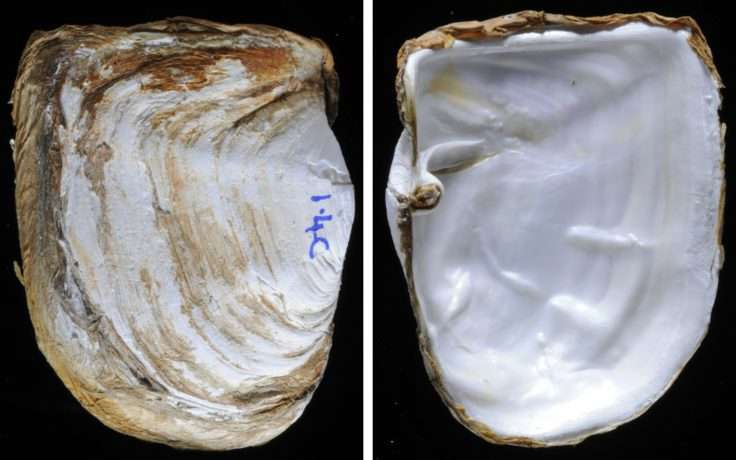 How molluscs build their shells in the sub-zero waters of Antarctica